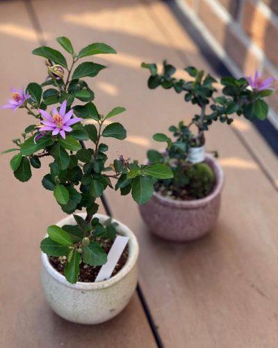 盆栽 スイレンボク