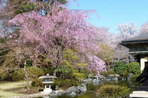 昭和の森車屋 枝垂桜